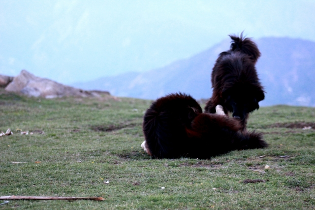 Sheep dogs of the mountain villages of Chopta - Tungnath
